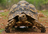 15 year old Leopard tortoise for sale