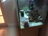 FREE Tanganyikan breeding pair and baby fairy cichlids(GONE)