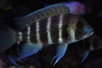 Cyphotilapia 	Frontosas for for sale