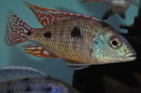Dandy Cichlids Malawi and Tanganyikan Cichlids UPDATED LIST