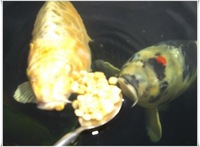 Koi carp for sale
