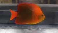 Clarion Angelfish for sale