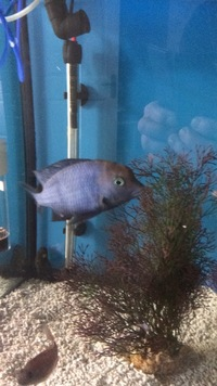 Group Blue dolphins for sale