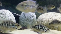 RED TIGER MOTGUENSE CICHLIDS