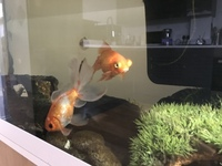 2x large goldfish