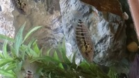 Red Tiger Motaguensis cichlid