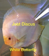 Thousands of Discus fish for sale@FREE DELIVERY@THE LARGEST STOCK AT THE CHEAPEST PRICES AND THE BEST QUALITY DISCUS IN THE U.K & U.K Bred at our hatchery.