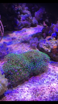Star polyps and coral beauty for sale SOLD. Mp10 and aquarium