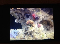 Live corals, inverts, fish in Marine tank Red Sea max 250 with sump �0 Ono