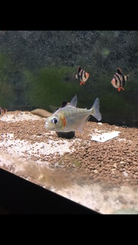 WILD PIRANHA FOR SALE NEW STOCK IN FROM PERU