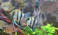 NOW SOLD---Angel fish(P.scalare) wild type 2 proven breeding pairs in Leeds-- ono � for both