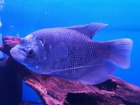 Giant Gourami now in stock @ The Aquatic Store Bristol 09.05.18