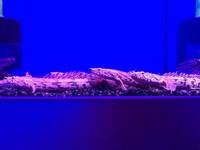 Good Selection of Polypterus (Bichir) @ The Aquatic Store Bristol 09.05.18