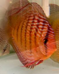 discus breeding pair wild x