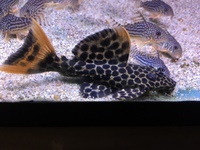 Maidenhead Aquatics at Guildford - Pleco, Catfish, Cory and Misc Fish
