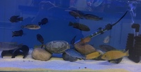 malawi mbuna adults now in stock at j2o cichlids