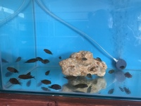 Tropheus chituta bay fry F1(rare) and adults for sale