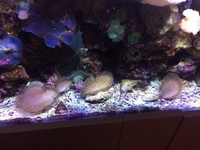 Toadstool Mushroom Leather Coral frags