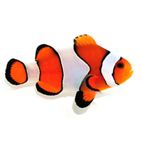Tank bred clownfish under 50£