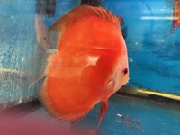 WHITE FACE RED MELONS AND WHITE DIAMONDS IN STOCK ONLY �.99 12CM FISH