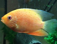 Red Spotted Severum - 4inch