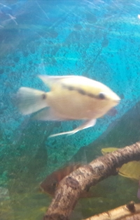 ALL SOLD---� for 4 x Festivum cichlid(Mesonauta insignis) 3-3.5 inch(incl.breeding pair)-ono � or make me an offer-Leeds