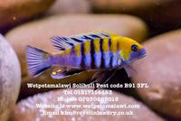 Wetpetsmalawi I am a fully council licensed breeder of Malawi, Tanganyikan and Victorian Cichlids.