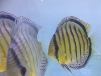 Discus For Sale @ Discover Discus Scotland