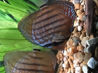 7x curipera royal discus �0 ono