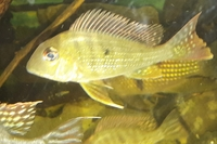 ALL SOLD---Geophagus abalios and Severum cichlids for sale---NOW � for all 3---Leeds(see attached video clips)