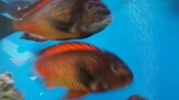 Only 16 - 20 Topheus Moliro babies left. Adult fish sold.