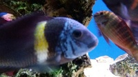 Breeding group of 14 F1 adult Tropheus Duboisi Maswa. Now only �0