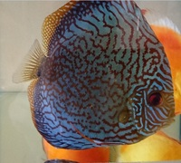 Sale - limited amount - JUMBO and XXl, Pairs, discus for sale