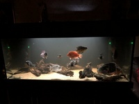 Tank Clearout - American Cichlids & Cats