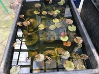 WATER LILIES ONLY �.95 FROM CHILTON AQUATICS. POTTED AND HOME GROWN LILIES NOT IMPORTS.