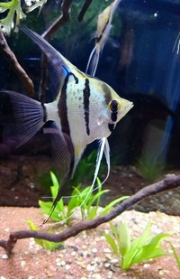 Rio nanay angel fish F1