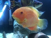 Prochilodus Flagtail, Red spot severum and more