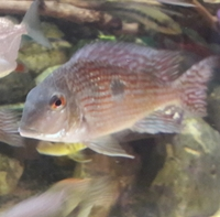 FOR SALE--1.5 years old breeding pair Geophagus pindare(4-6inch) x 2---ono �for both or make me an offer--Leeds