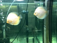 WHITE DIAMOND DISCUS ADULTS ONLY �.95 ALSO STUNNING PAIR IN STOCK ONLY �0PR