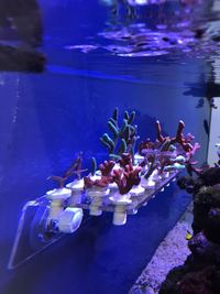 Coral Frag and Colonies for Sale