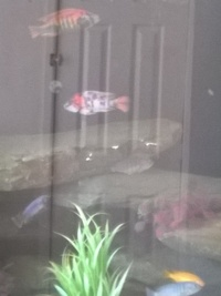 Malawi mbuna for sale whole group only.will not split �0 takes all