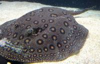 Female marble Ray 12 inches �0 or Swap for male ray
