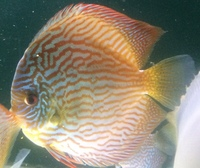 discus for sale in Milton keynes