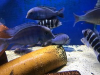 XXL HAP. MOORI. (DOLPHIN CICHLIDS) LARGE GROUP IN STOCK. ONLY � EACH