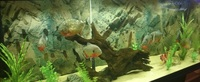 Group of 4 Red bellied piranha and 2 cariba