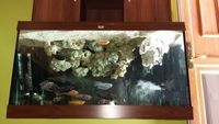 Full set of of mixed malawi cichlids n large tank