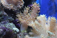 Finger leather corals ��