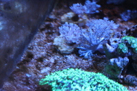 "Pulsing Xenia frags � /></a><br><br>  </td>  <td valign=""top"" width=""100%"">    <b>Description:</b>  I have a few pulsing Xenia frags for sale in Maidenhead. They look better in real life then in the photos.
