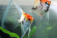 Red devil angelfish � each