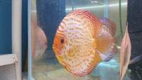 YOUNG ADULT DISCUS (SCOTLAND)